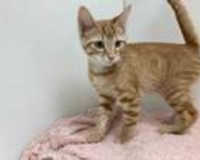 Adopt El Tigre a Orange or Red Domestic Shorthair / Mixed cat in Boulder