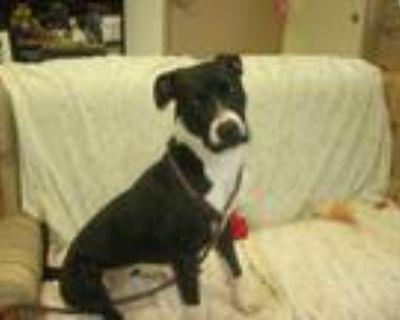 Adopt Della a Labrador Retriever, Hound