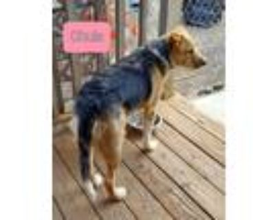 Adopt Chula a Tricolor (Tan/Brown & Black & White) Airedale Terrier / Shepherd