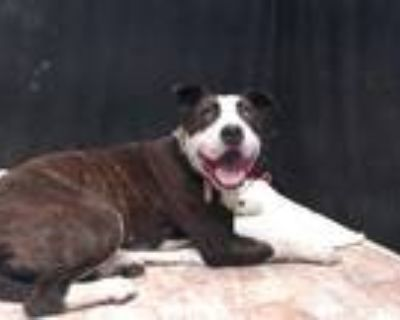 Adopt ALICE a Brindle - with White American Pit Bull Terrier / Mixed dog in