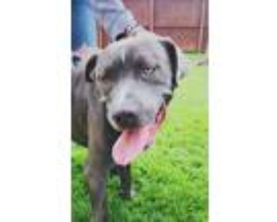 Adopt Rocko a Brindle - with White Cane Corso / Mastiff / Mixed dog in Phoenix