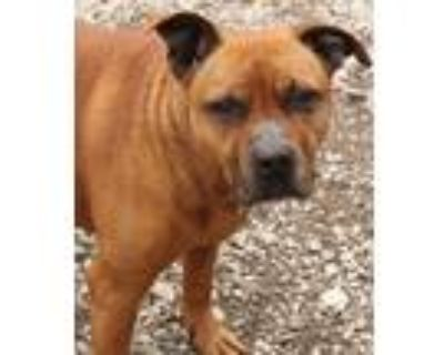 Adopt Snoops a Pit Bull Terrier