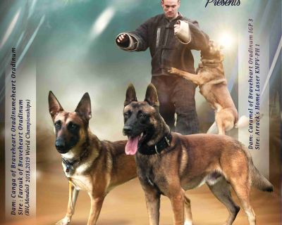 Belgian Malinois Puppies Imported Parents.Good drives & bloodlines