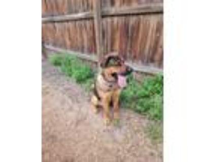 Adopt Dug a Brown/Chocolate - with Tan Akita / German Shepherd Dog / Mixed dog
