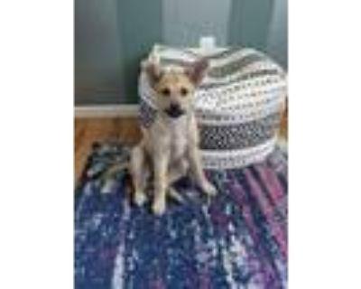 Adopt Lucca a Labrador Retriever