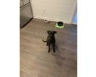 Adopt Winston a Brown/Chocolate - with Black Labrador Retriever / Mixed dog in