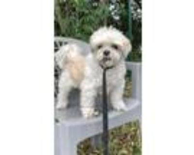 Adopt Prince Magnus a Shih Tzu / Mixed dog in Davie, FL (30907039)