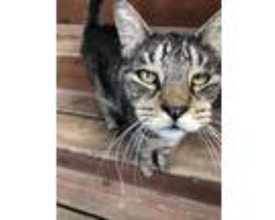 Adopt Starbuck a Brown Tabby Domestic Shorthair / Mixed (short coat) cat in