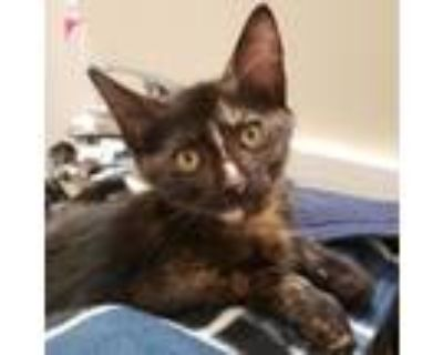 Adopt Casseopia a All Black Domestic Shorthair / Mixed cat in Wichita