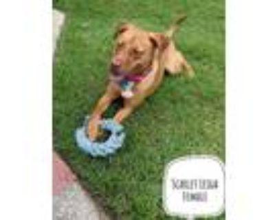Adopt SCARLET LEIGH SOCIETY a Labrador Retriever