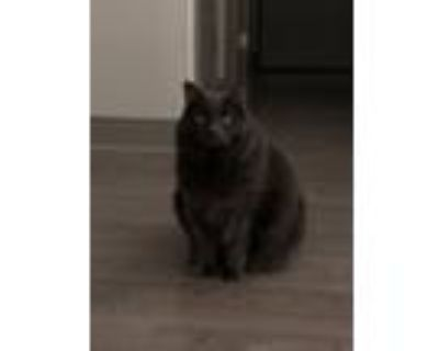 Adopt Minnie a Gray, Blue or Silver Tabby Manx / Mixed (medium coat) cat in