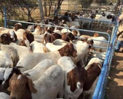 Pasture bred boer goats for sale