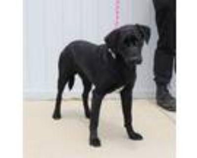 Adopt GUCCI a Labrador Retriever, Mixed Breed