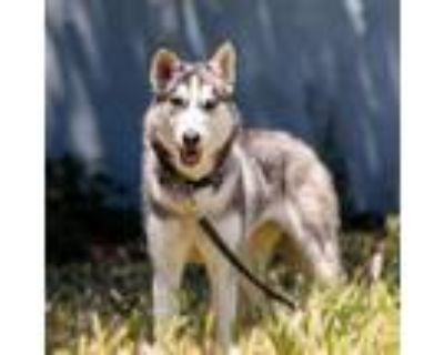 Adopt Allie a White - with Gray or Silver Husky / Mixed dog in Oakland