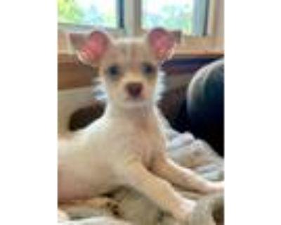 Adopt Winnie a White - with Red, Golden, Orange or Chestnut Terrier (Unknown