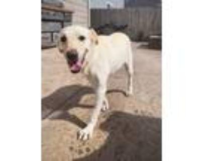 Adopt Hermione a White Blue Heeler / Labrador Retriever dog in Colorado Springs