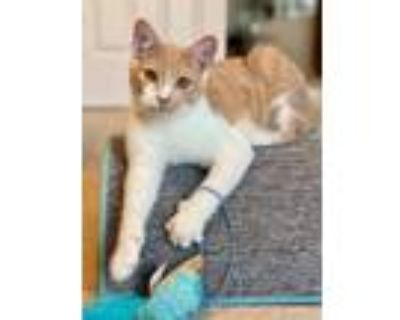 Adopt Mac Kitten a Orange or Red (Mostly) Domestic Shorthair / Mixed (short