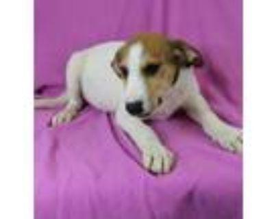 Adopt Yara a White Beagle / Labrador Retriever / Mixed dog in Morton Grove