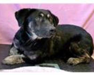 Adopt Freddie a Black Basset Hound / Australian Shepherd / Mixed dog in Chester