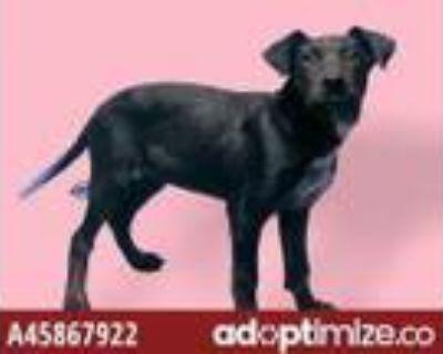 Adopt DISNEY a Labrador Retriever, Border Collie