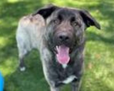 Adopt HARLEY a Black - with Gray or Silver Anatolian Shepherd / Mixed dog in