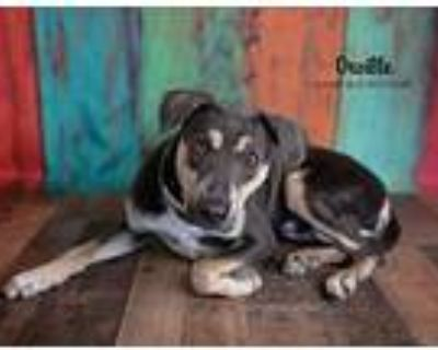 Orville, Doberman Pinscher For Adoption In Littleton, Colorado
