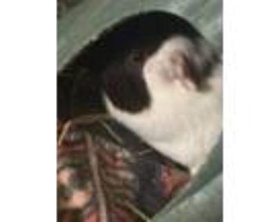 Adopt Jack & Diane a Guinea Pig
