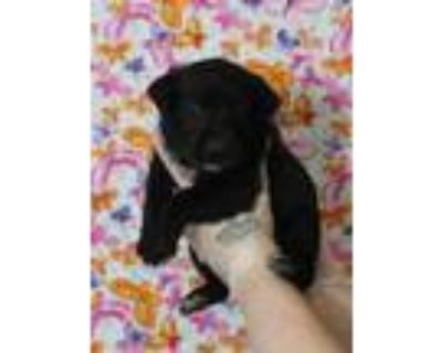 Adopt Virgo a Rottweiler, Mixed Breed