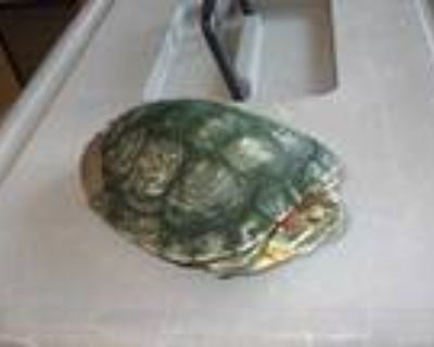 Adopt INCHY a Turtle - Water / Mixed reptile, amphibian, and/or fish in Burbank