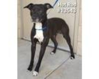 Adopt Hot Rod a Labrador Retriever, Terrier