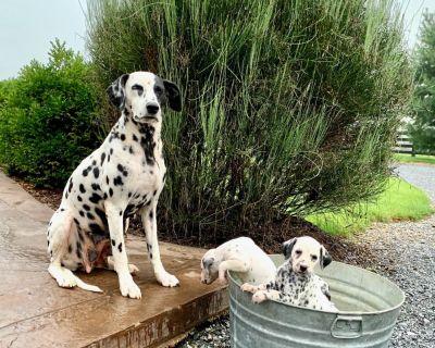 Adorable. Dalmatian Puppies❤️❤️