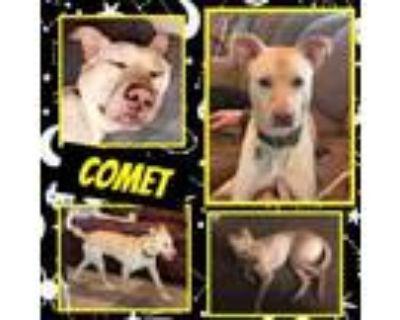 Adopt Comet a Labrador Retriever