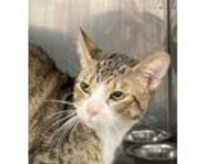 Adopt Simon a Gray, Blue or Silver Tabby Domestic Shorthair (short coat) cat in