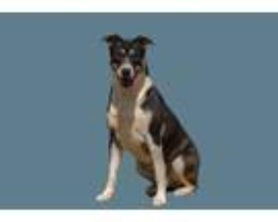 Adopt Danica a Tricolor (Tan/Brown & Black & White) Labrador Retriever /