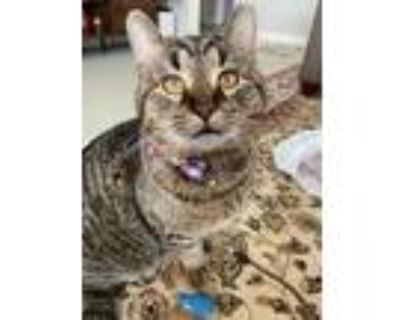 Adopt Atticus a Domestic Short Hair, Extra-Toes Cat / Hemingway Polydactyl