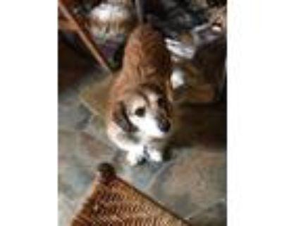 Adopt Dug a Dachshund, Terrier