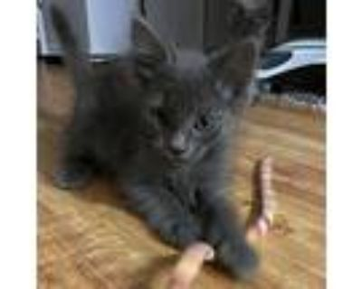 Jafar, Domestic Shorthair For Adoption In Culver City, California