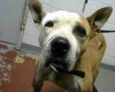 Adopt NERA a Pit Bull Terrier