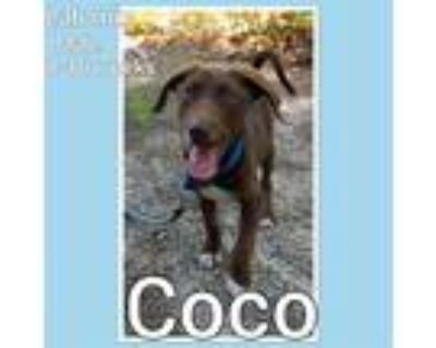 Adopt Coco a Brown/Chocolate - with White Labrador Retriever / Mixed dog in Crum
