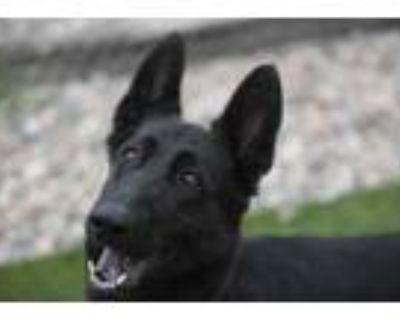 Adopt Nyhalah a Black German Shepherd Dog / Mixed dog in Colorado Springs