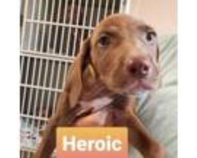 Adopt Heroic One a Vizsla