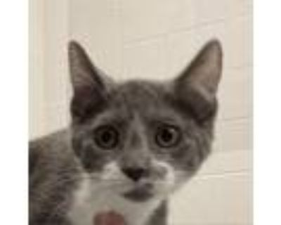 Adopt Sassy Pants #49298 a Gray or Blue Domestic Longhair / Mixed cat in