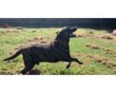 Adopt RANGER a Mastiff, Mixed Breed