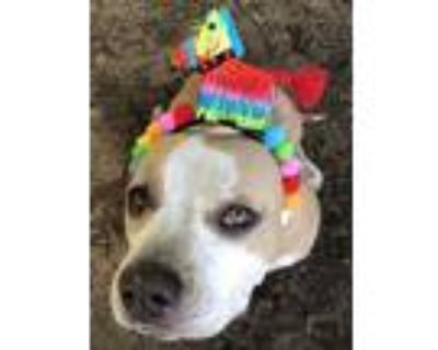 Adopt Misty a Tan/Yellow/Fawn American Pit Bull Terrier / Mixed dog in Fort