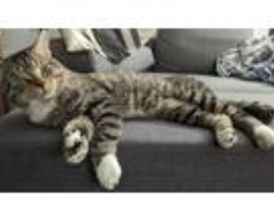 Adopt Oliver a Calico or Dilute Calico American Shorthair / Mixed (short coat)