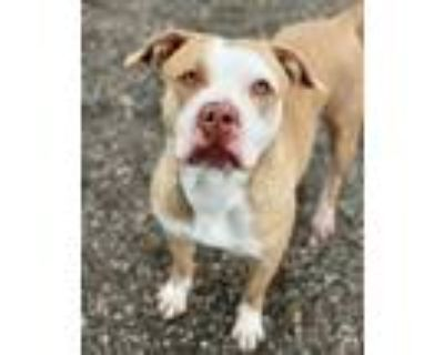Adopt M.D. a Tan/Yellow/Fawn - with White American Pit Bull Terrier / Mixed dog