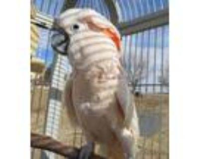 Adopt Grayson Aka Gracie a Cockatoo