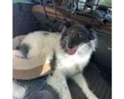 Adopt Abby a Border Collie / Mixed dog in Atlanta, GA (31454195)