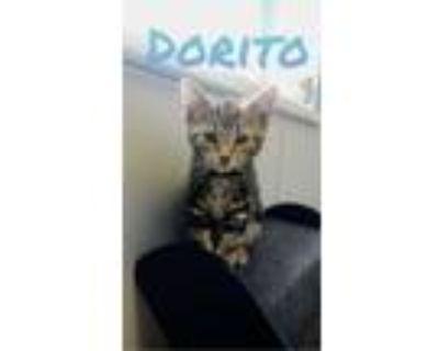 Adopt Dorito a Domestic Short Hair