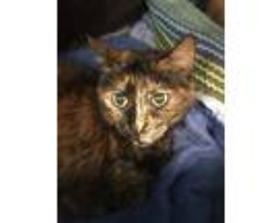 Adopt Patch a Domestic Shorthair / Mixed (short coat) cat in Portsmouth
